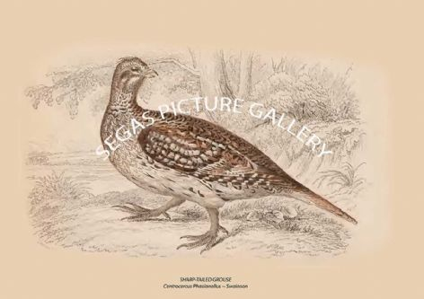 Fine art print of the SHARP-TAILED GROUSE = Centrocercus Phasianellus -- Swainson by Sir William Jardine (1834)